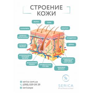 """Информационный плакат , фомат А4 """"Строение Кожи"""", Serica"""